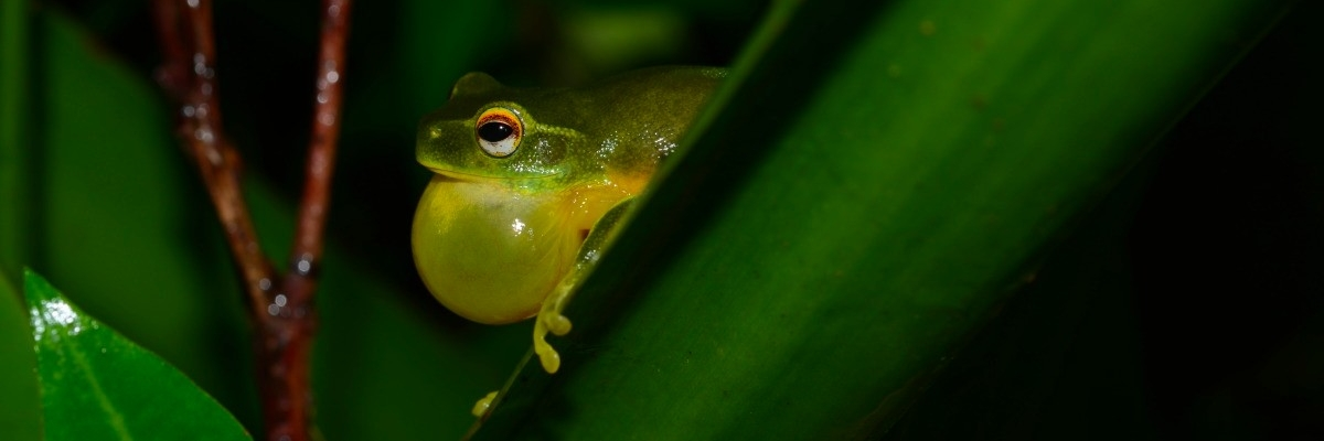 Graceful tree frog Fauna Management