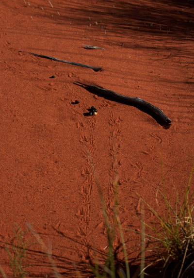 Thorny Devil Tracks fauna management