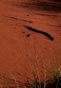 Thorny Devil Tracks fauna management