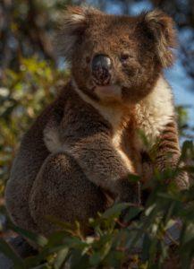 koala koala spotter