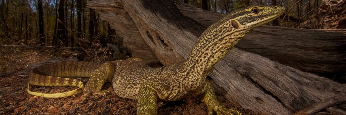 Yellow spotted monitor Fauna Management