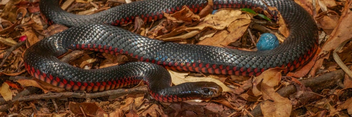 red-bellied black snake Fauna Management